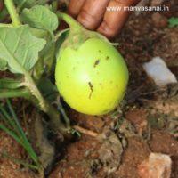 Green Round Brinjal Seeds (S9)