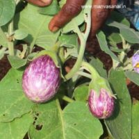 Violet Brinjal with White Stripes Seeds (S5)