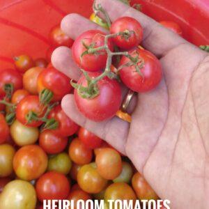 Heinz Classic Tomato seeds