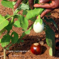 Heirloom White Brinjal (Big) Seeds
