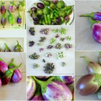 Heirloom/Native Brinjal Seed Kit (12 Varieties)