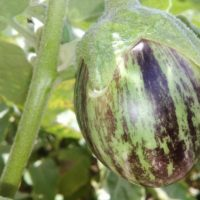 Green Oblong Brinjal with brown stripes Seed (S12)