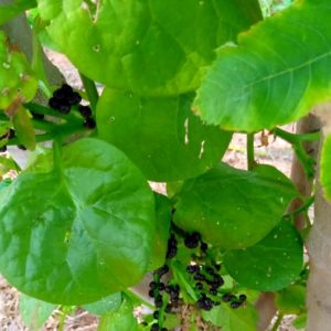 Pasali Keeri / Malabhar Spinach (Green)